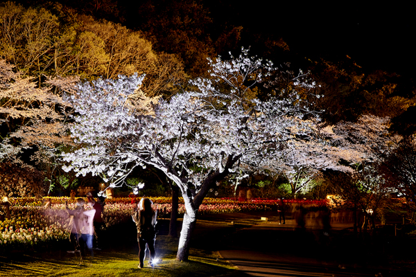 桜のライトアップ