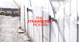 The Strawberry Picking